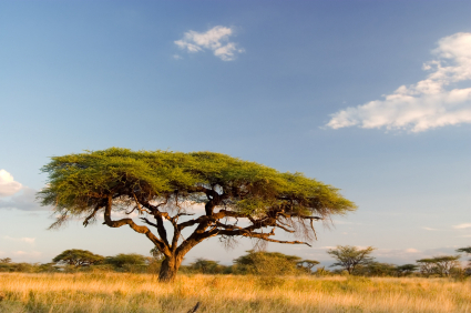 tree in the savanna region of Kenya