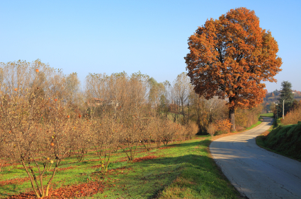 trees and a narrow road in the autumn in the Piedmont region of northern Italy.